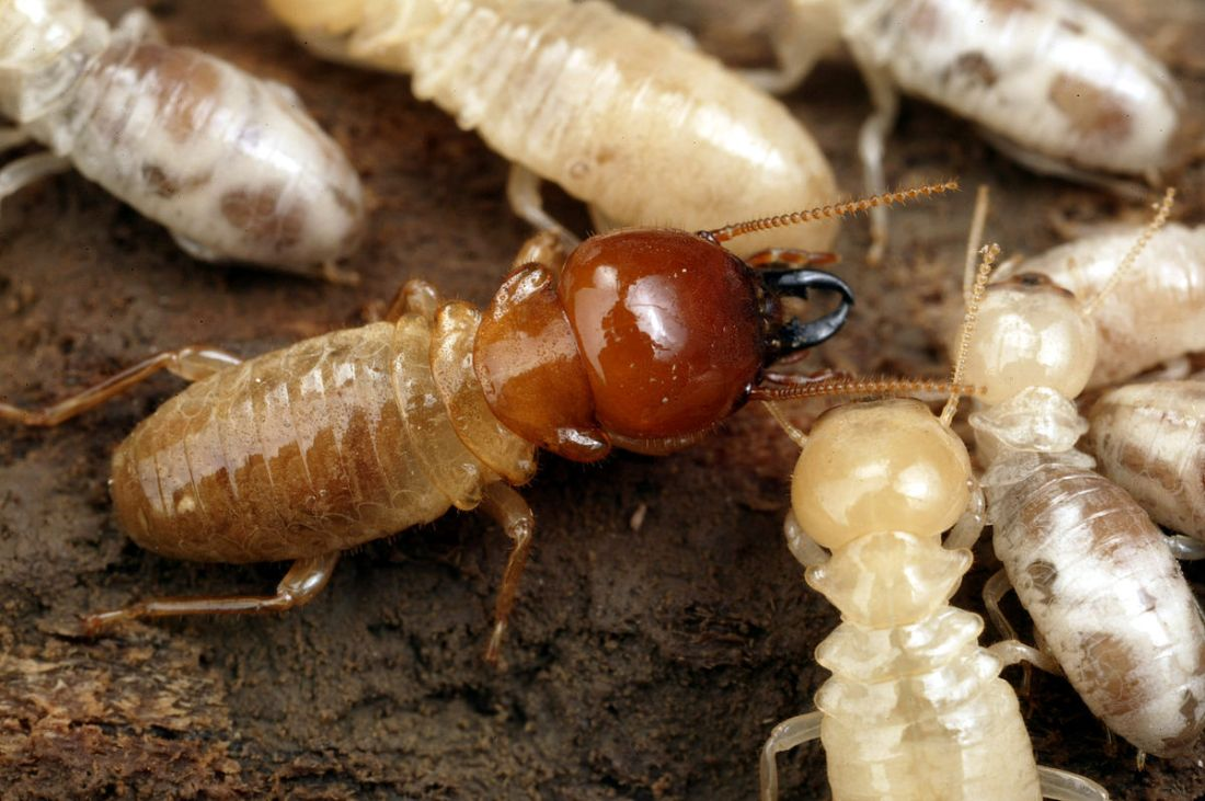 CSIRO_Giant_Northern_Termite
